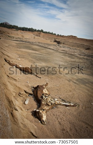 Two carcasses of horses left to decay in a  barren surrounding. South Sinai, Egypt. - stock photo