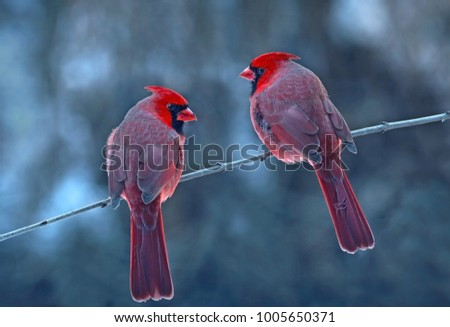 Two cardinals perching on brunch.