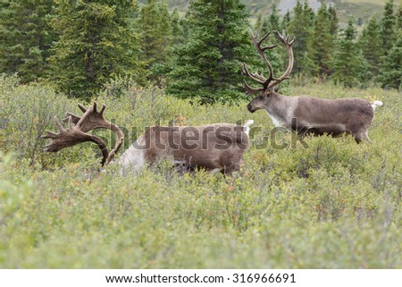 Two caribou standing in green landscape - stock photo
