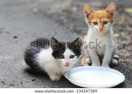 Two cat drinking milk - stock photo