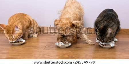 Two cats and a dog breed Griffon eat together with plates - stock photo