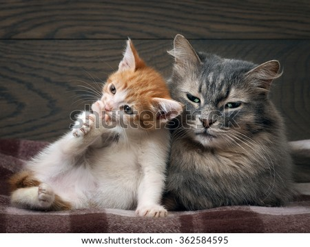 Two cats. Big gray cat and little kitten. Funny kitten holding paw. Mother cat and the baby. Mom gray, fluffy, beautiful fur. The kitten is small, white and red. Family portrait of two big cats.  - stock photo