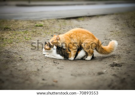 Two cats having sex act - stock photo