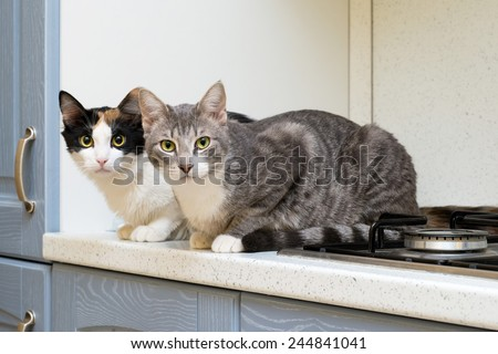 two cats on the shelf of a kitchen cooking - stock photo
