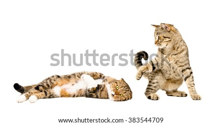 Two cats playing isolated on white background