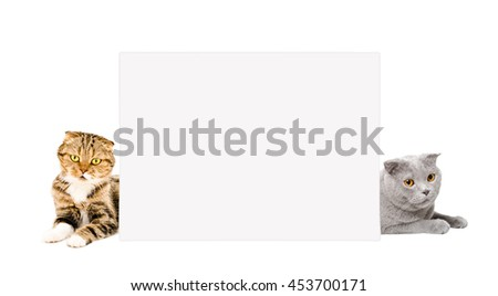 Two cats Scottish Fold peeking from behind a placard isolated white background - stock photo
