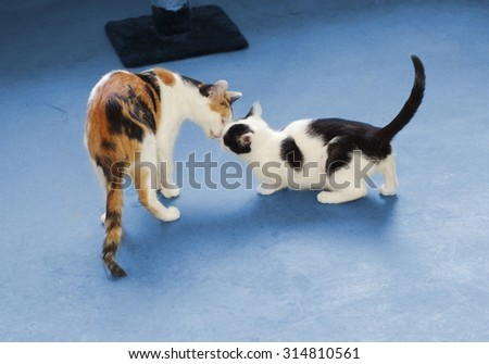 two cats touch each other's nose on blue background - stock photo