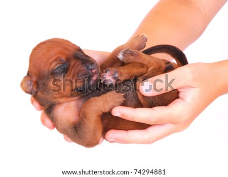 Two Caucasian hands of a child holding a cute little newborn Rhodesian Ridgeback hound dog puppy. Image isolated on white studio background. - stock photo