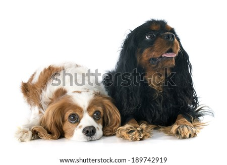 two cavalier king charles in front of white background
