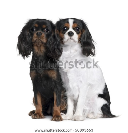 Two Cavalier King Charles Spaniels, 8 Months and 9 Month old, sitting in front of white background - stock photo