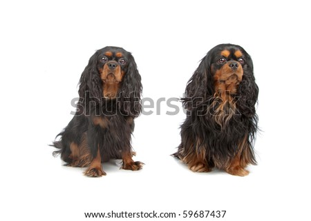 Two Cavalier King Charles Spaniels sitting - stock photo
