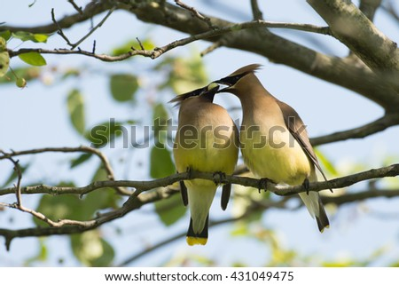 Two cedar waxwings share a berry while perched in a tree - stock photo