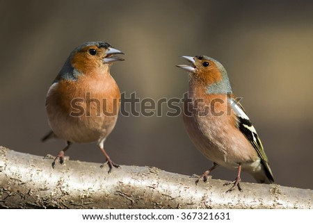 two Chaffinch sing a duet on a branch - stock photo
