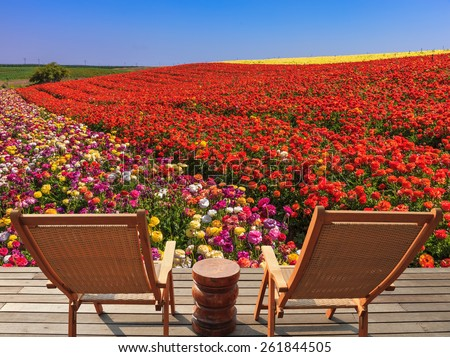 Two chaise lounges for rest stand on a scaffold at a picturesque flower field.  The spring blossoming buttercups  grow multi-colored strips - stock photo
