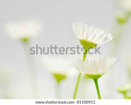 Two chamomiles - stock photo