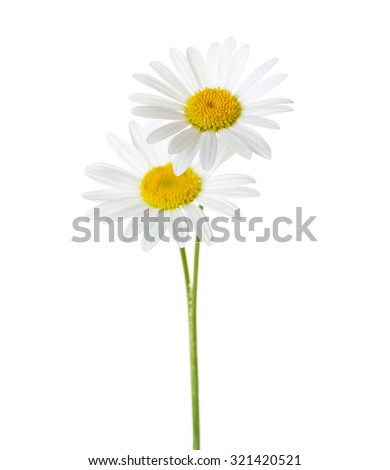 Two Chamomiles isolated on white background.  Shallow depth of field. focus on the highest flower - stock photo