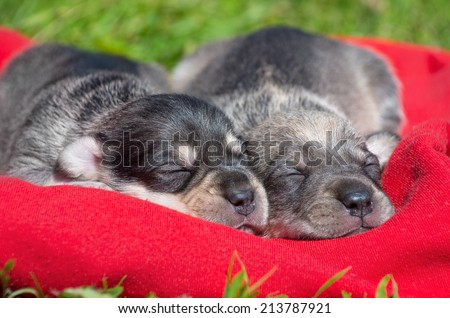 Two charming sleeping puppy - stock photo