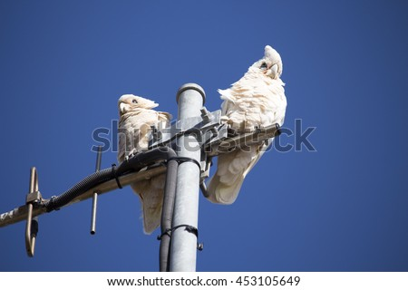 Two cheeky blue eyed white Australian corellas Licmetis  a subgenus of white cockatoos  (genus Cacatua) are  perching on a suburban TV antenna on a fine sunny  afternoon in late spring.