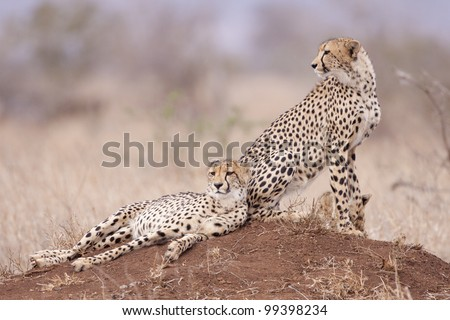 Two Cheetah brothers (Acinonyx jubatus) on a termite mound, South Africa