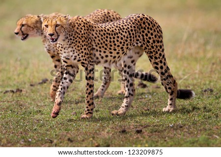 Two Cheetah brothers, Mother Honey, Masai Mara, Kenya - stock photo