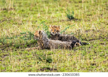 Two cheetah cubs (Acinonyx jubatus) relaxing on savannah. Maasai Mara National Reserve, Kenya. - stock photo