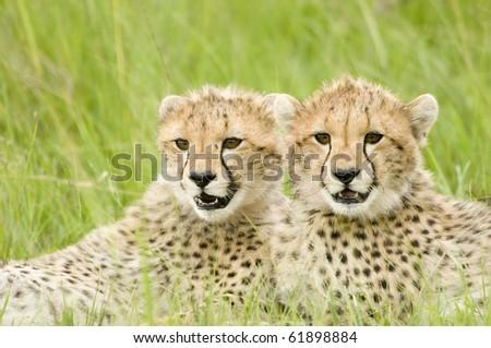 two cheetah cubs huddled up together alert in Kenya's Masai Mara - stock photo