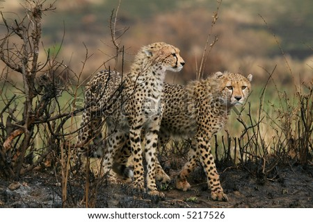 two cheetah cubs walking over burnt ground in masai mara, kenya