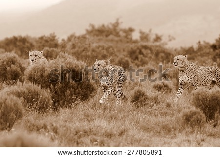 Two 2 Cheetah hunting through the long grass. taken during a photo safari in South Africa - stock photo