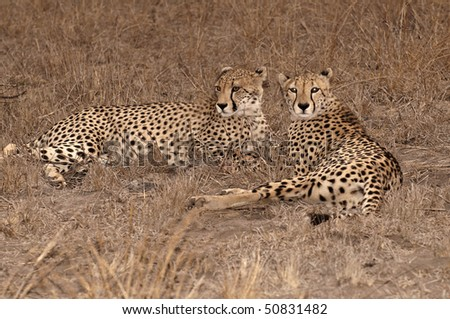 Two cheetah in the grass