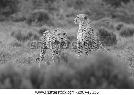 Two cheetah on the hunt in this black and white image taken in South Africa - stock photo