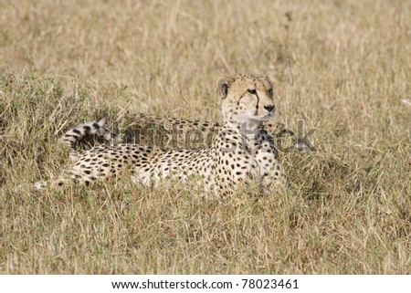 Two cheetah relaxing in the afternoon in the Masai Mara.