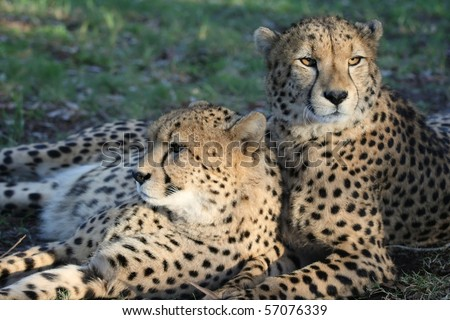 Two cheetah wild cats resting on the African grass - stock photo