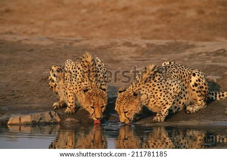 Two Cheetahs (Acinonyx Jubatus) drinking at waterhole - stock photo