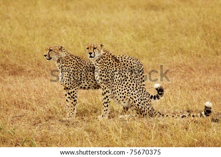 Two cheetahs (Acinonyx jubatus) on the Masai Mara National Reserve safari in southwestern Kenya. - stock photo