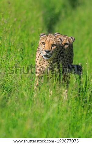 two cheetahs are going to hunt - stock photo