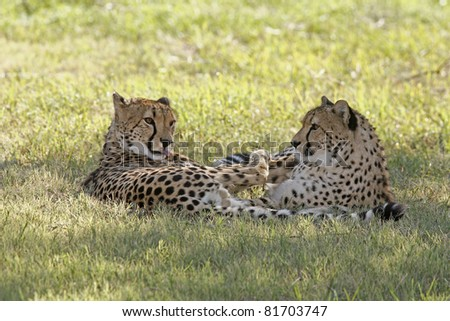 Two cheetahs laying together, the male is licking his fur - stock photo