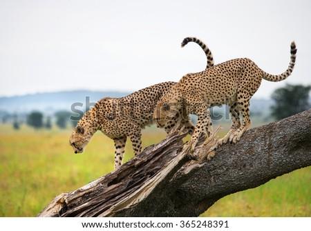 Two cheetahs on a tree. Kenya. Tanzania. Africa. National Park. Serengeti. Maasai Mara. An excellent illustration. - stock photo