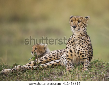 Two cheetahs on the hill in the savannah. Kenya. Tanzania. Africa. National Park. Serengeti. Maasai Mara. An excellent illustration. - stock photo
