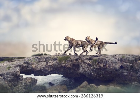 Two Cheetahs Running On A Top Of Rock - stock photo