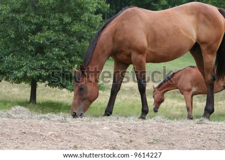 Two Chestnut Colored Horses grazing in the field
