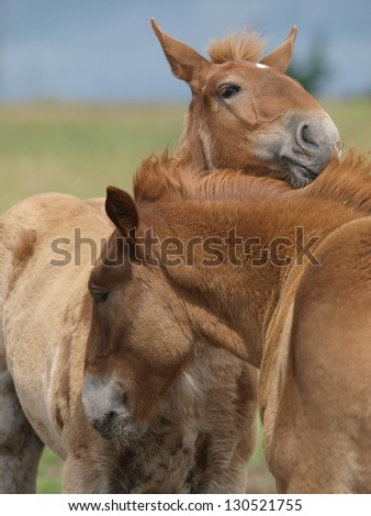 Two chestnut foals stand next to each other and mutual groom. - stock photo