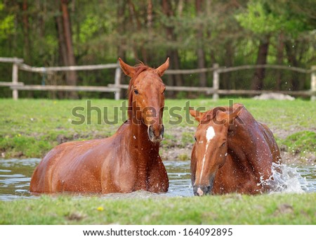 Two  chestnut  horse bath in a lake in summer day - stock photo
