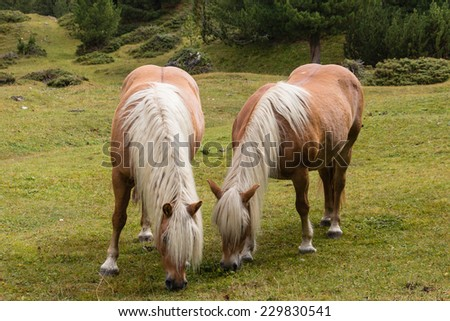 two chestnut horses grazing on alpine meadow - stock photo