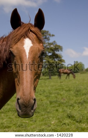 Two chestnut horses in a summer field