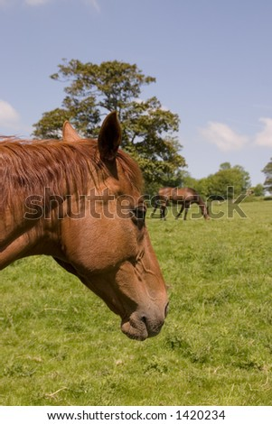 Two chestnut horses in a summer field - stock photo
