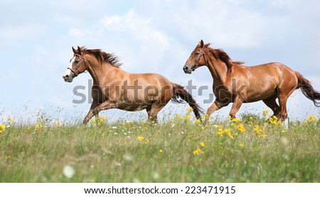Two chestnut horses running together on meadow - stock photo