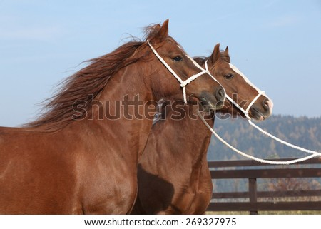 Two chestnut mares with rope show halters in autumn - stock photo