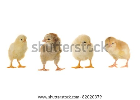 two chick on a white background - stock photo