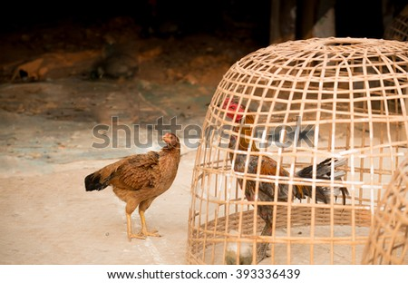 Two chickens are looking together that way  - stock photo