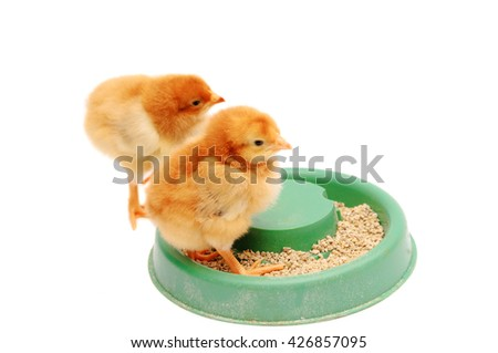 Two chicks at the trough isolated on white background. Couple little yellow chickens. - stock photo